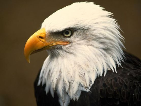 bald-eagle_1_600x450
