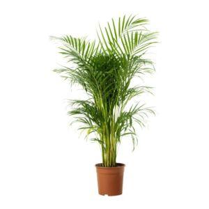 chrysalidocarpus-lutescens-potted-plant__67424_PE181267_S4