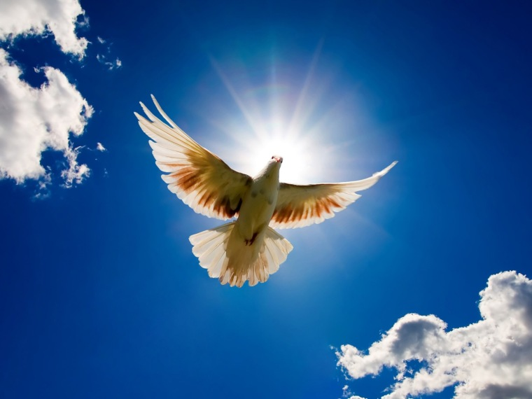 Pigeon-Peace-HD-Wallpaper