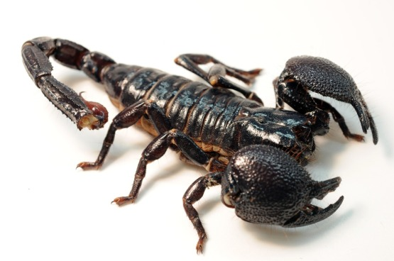 Female_Emperor_Scorpion