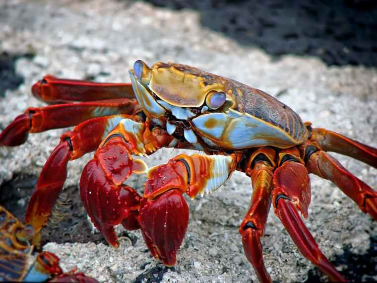 crab-animal-aquatic-archipelago-59809.jpeg