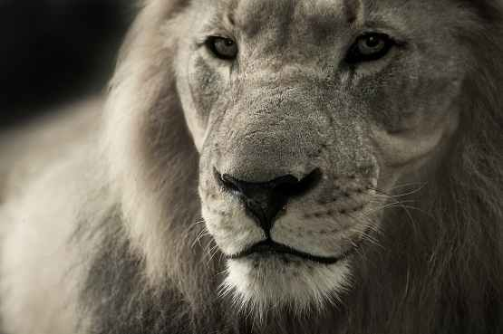lion-animal-portrait-africa-safari-40196.jpeg
