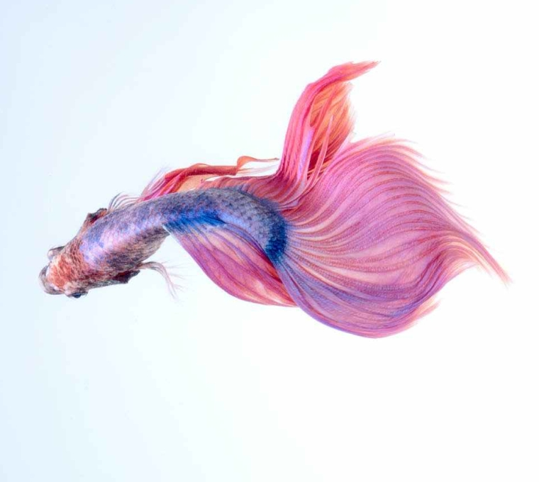 close up of a siamese fighting fish